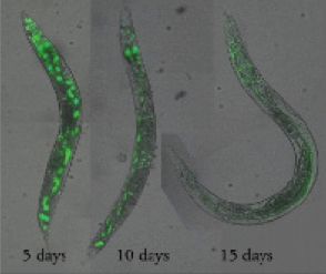 Florescent labeled genes viewed through C elegans worms